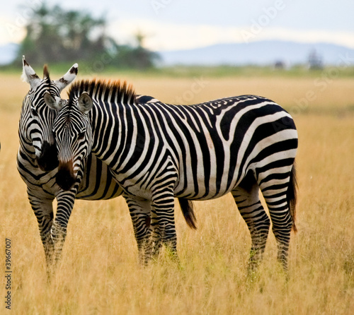 Foto op Canvas Zebra zebra buddies