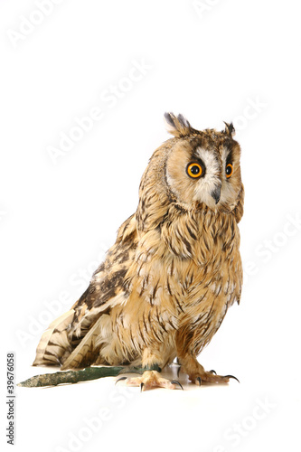 Fotobehang Uil Long-eared Owl isolated on the white background