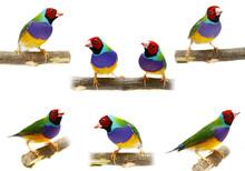 Gouldian Finch - Erythrura Gouldiae, Collage