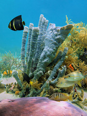 Underwater marine life branching vase sponge and tropical fish in a coral reef of the Caribbean sea