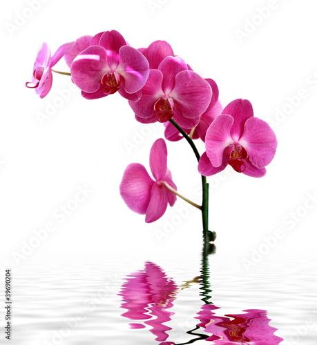 Papiers peints Orchidée Orchidée rose sur fond blanc.