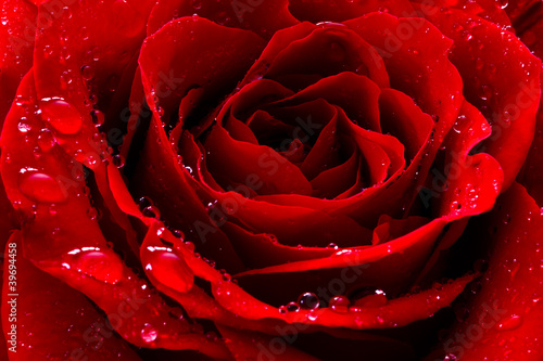 Spoed Fotobehang Macro red rose with water drops