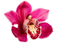 Purple Orchid Flower Isolated On White Background