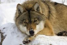 European Gray Wolf (Canis Lupus Lupus) Resting