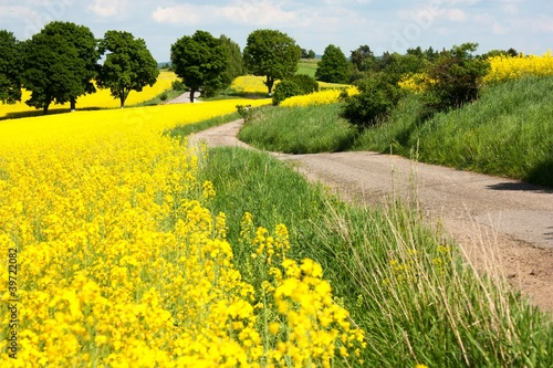 Photo Stands Yellow field of rapeseed - brassica napus