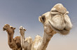 canvas print picture - camels