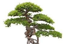 Bonsai, Green Elm Tree On White Background
