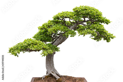 Spoed Foto op Canvas Bonsai Green bonsai tree on white background