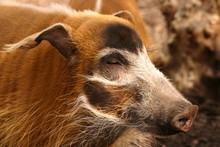 Red River Hog - Potamochoerus Porcus