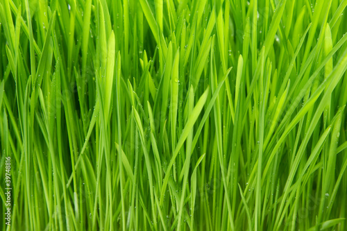 Fotobehang Gras Dew on grass on the white background