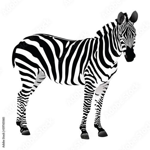 Fotografie, Obraz  Zebra