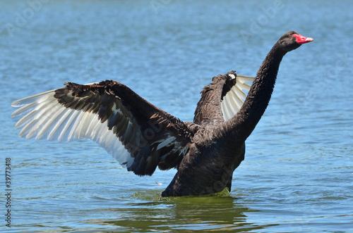 Poster Cygne Wildlife and Animals - Black Swan