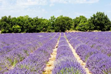 Fototapetalavender field, Plateau de Valensole, Provence, France