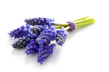 Muscari Bunch