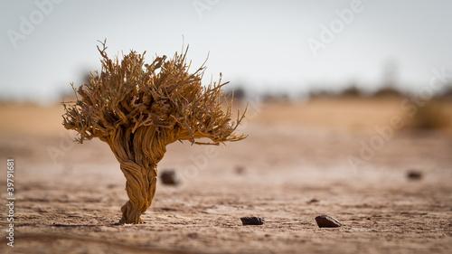 Little tree in Sahara Tableau sur Toile