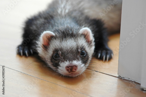 Sable ferret Fototapet