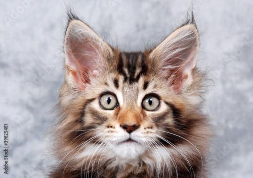 Tufted Eared Big Cat