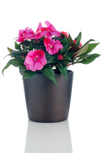 Beautiful Pink Impatiens Flowers