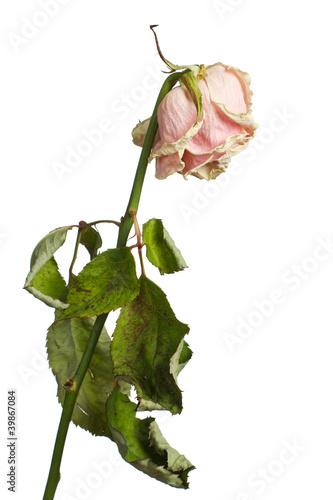 Valokuvatapetti The dried rose