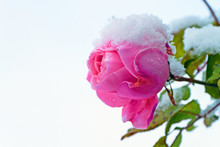 La Rosa E La Neve