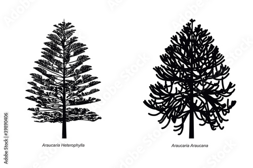 Two Different Araucaria Species Illustration Canvas Print