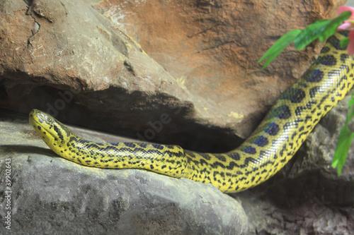 Yellow Anaconda [ Eunectes notaeus ] on the rock. Wallpaper Mural