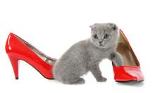 British Gray Kitten