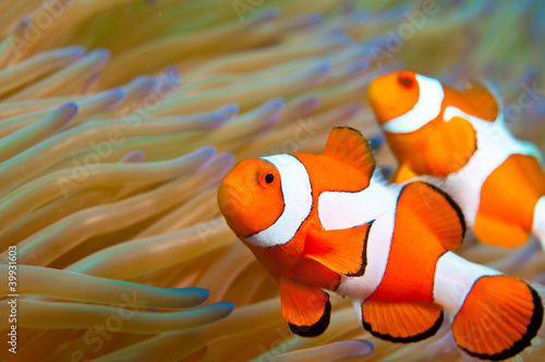 Pinturas sobre lienzo  Two anemonefish swimming