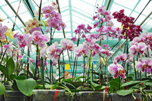 Orchid Plantation In Greenhouse