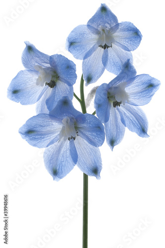 delphinium Fototapeta