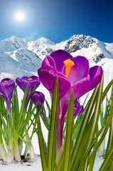 Obraz na SzkleSpringtime in mountains, crocus flowers in snow