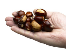 Man Hand Holds Chestnuts Isolated On White Background