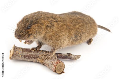 Fotografía  Woodland Vole (Arvicola terrestris)