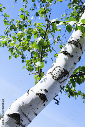 Foto op Plexiglas Berkbosje Trunk and green leaves of a birch against the sky