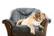 Happy Lazy Dog Bulldog On A Sofa