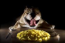English Bulldog With Noodles