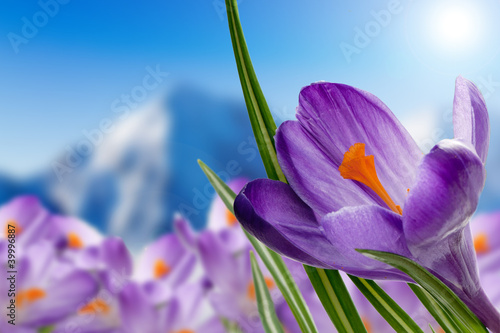 Springtime in mountains - crocus flowers in snow