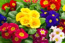 Colorful Fresh Spring Primula ...