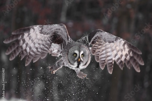 Great Grey Owl lat. Strix nebulosa Wallpaper Mural