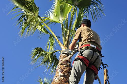 Fotografía  Tree Surgeon in Harness Trims Palm Tree