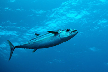 Dog-tooth tuna in water of Indian ocean, Maldives