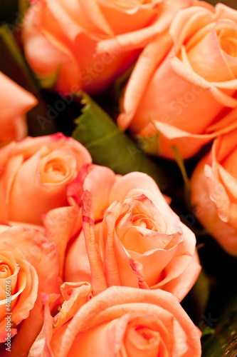 roza-tlo