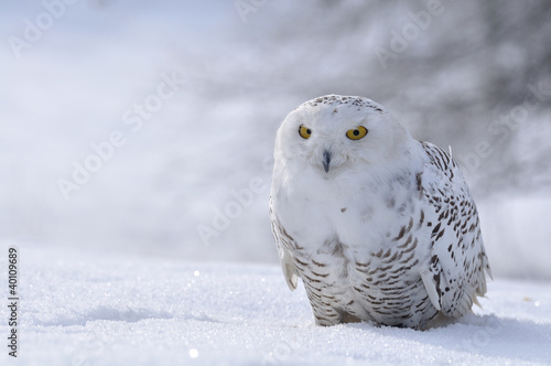 Spoed Foto op Canvas Uil snowy owl sitting on the snow