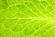 Fresh Green Leaf Of Lettuce  /...