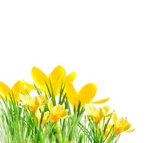 Yellow Crocuses In The Grass