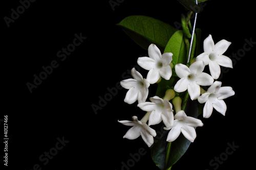 Fotografie, Obraz  Stephanotis flower