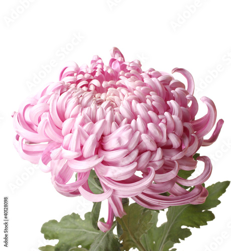 Photographie Pink autumn chrysanthemum isolated on white