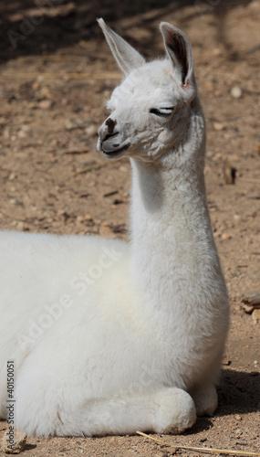 Papiers peints Lama lama blanc