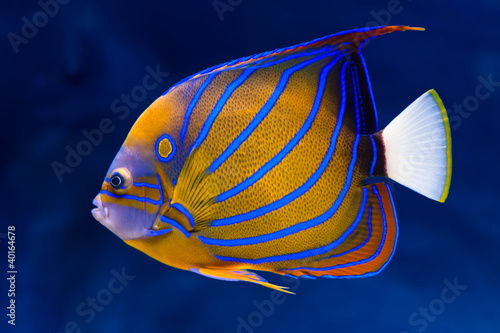 Bluering angelfish Canvas Print