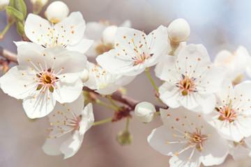 Panel Szklany Podświetlane Kwiaty Cherry blossoms